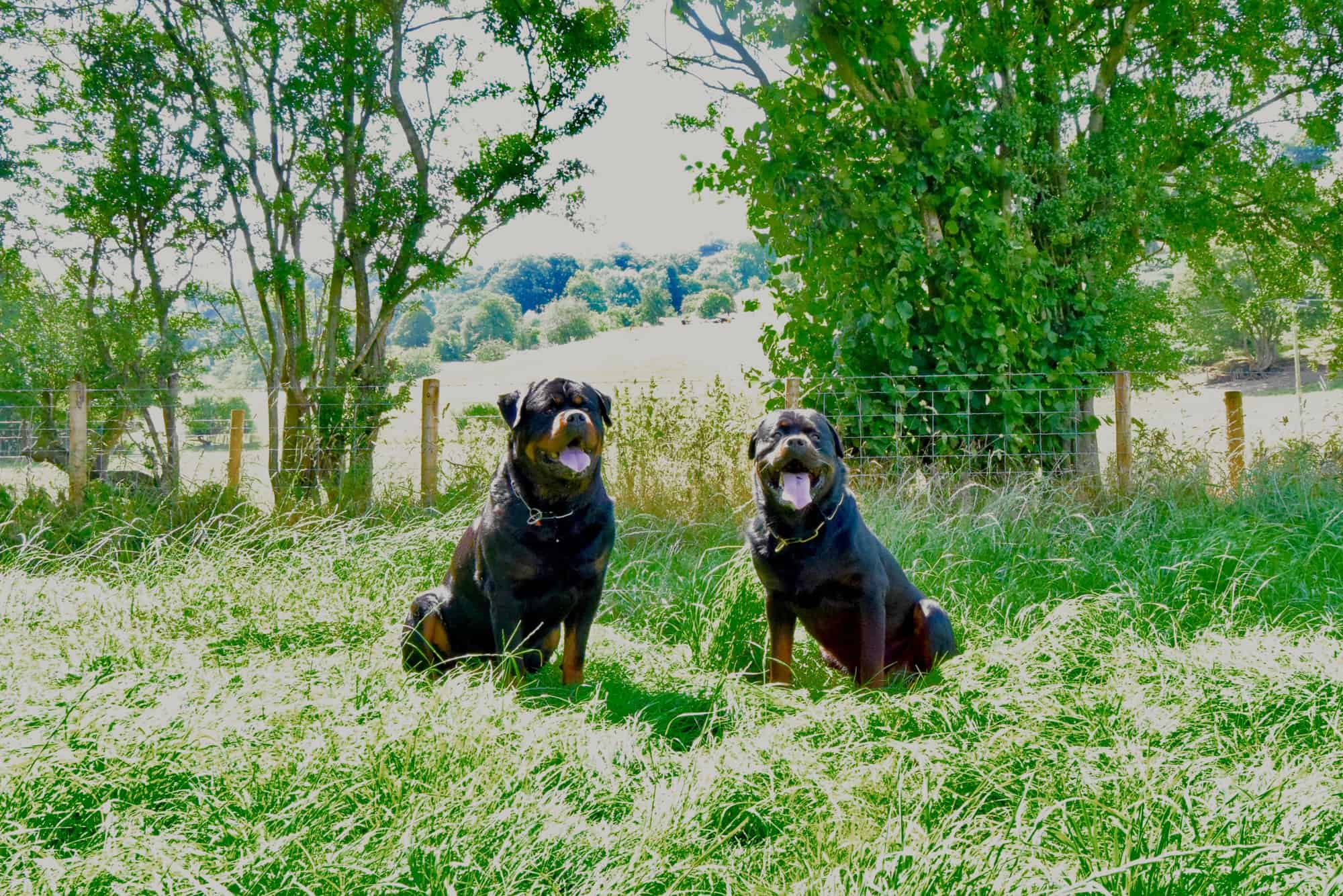 Full Size Render two Security Dogs
