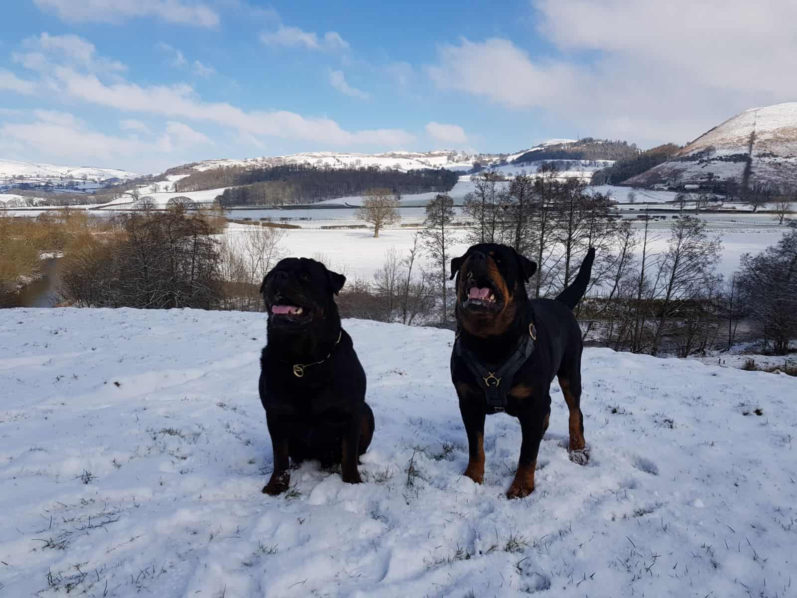 Patrol protection dogs in snow