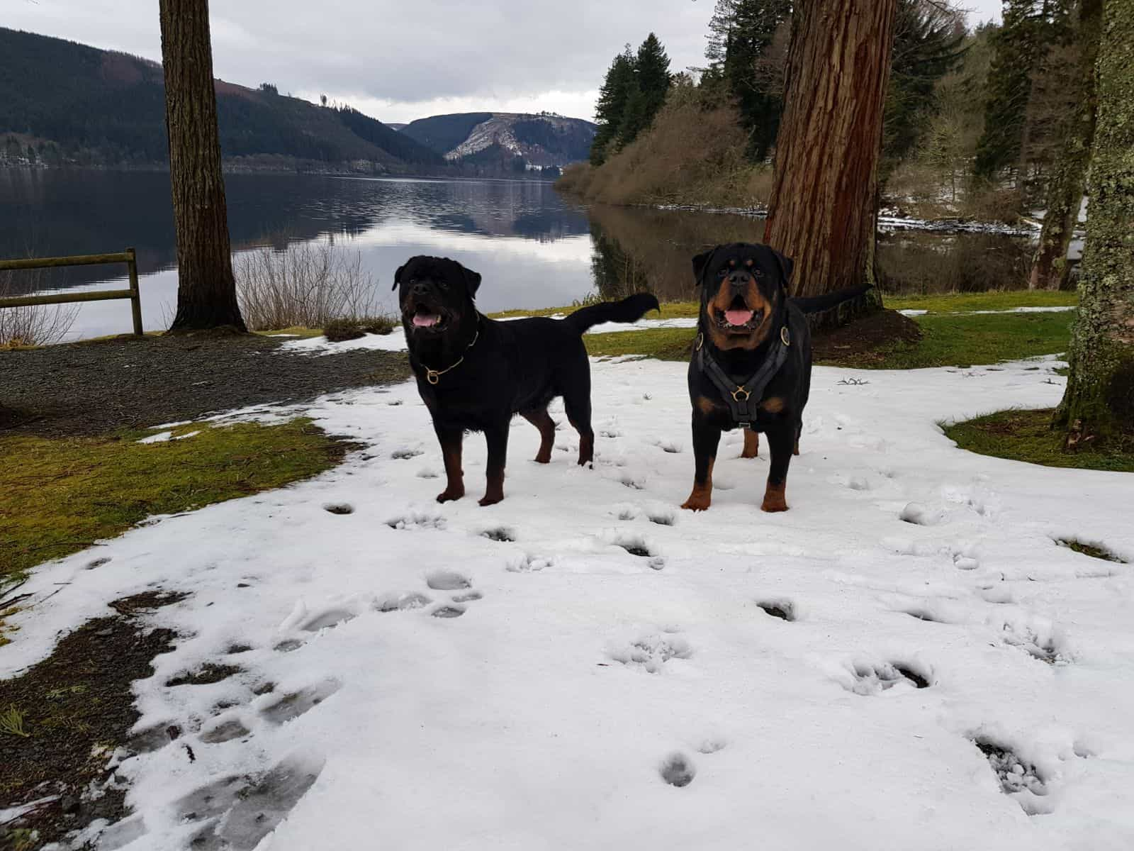 Security dogs in the snow