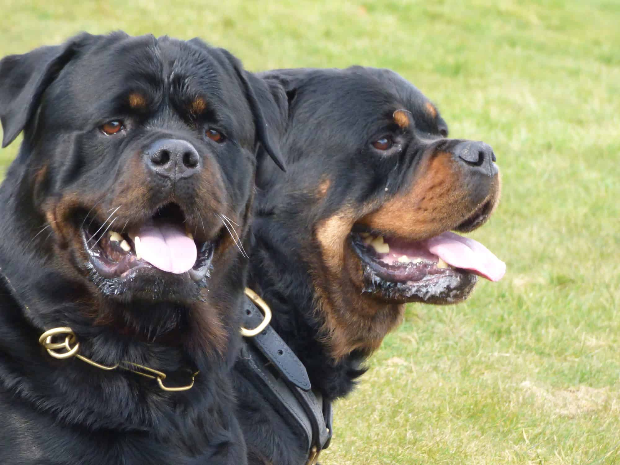k9 security dogs by Pride GB