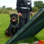 dogs are under the constant control of their qualified handler